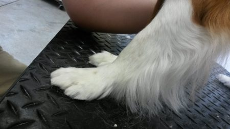 front foot after dog groomer iowa city